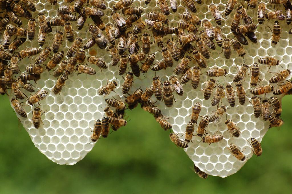 Biene Naturwabenbau
